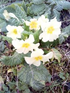 February primroses