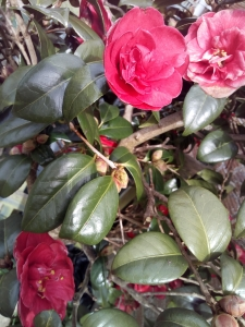 Red Camellia March 23 2018