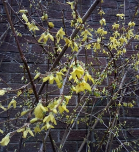 Winter Jasmine March 23 2018
