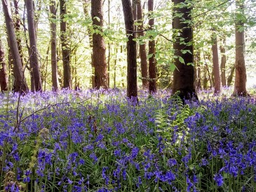 Among the bluebells West Dorset 6 May 2018