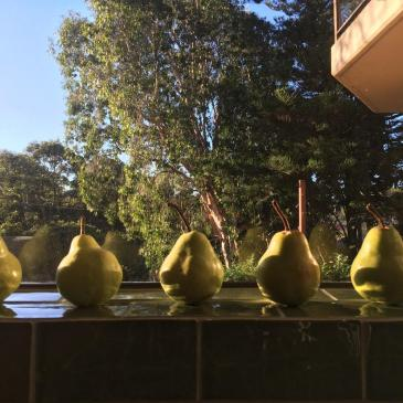 Pears ripening on a Sydney windowsill in May