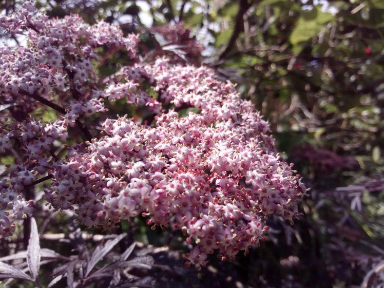 Creamy pink abundance - black elderflower in June