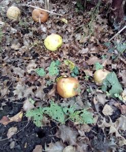 Fallen apples August 2018