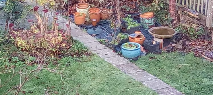 White tailed blackbird in the messy back garden