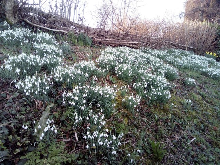 Snowdrops in Netherbury 15 February 2019