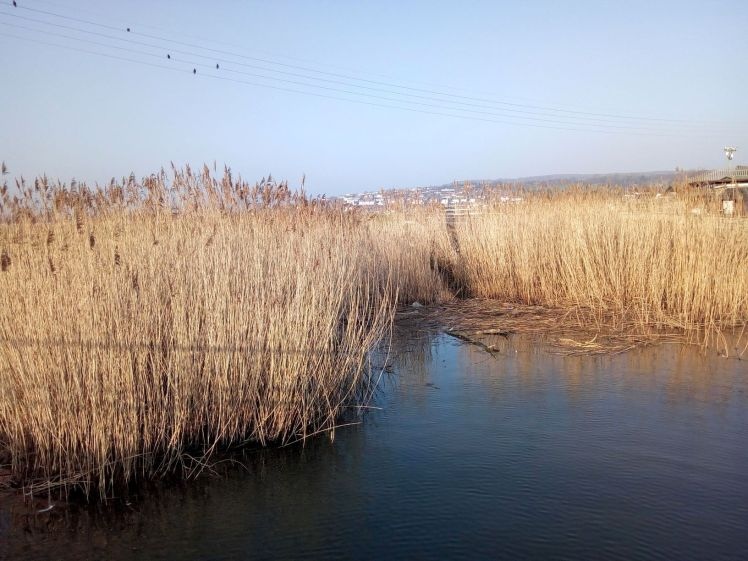 Bleached rushes River Brit at West Bay 27 February 2019