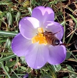 Crocus and solitary bee 20 February 2019Crocus and solitary bee 20 February 2019