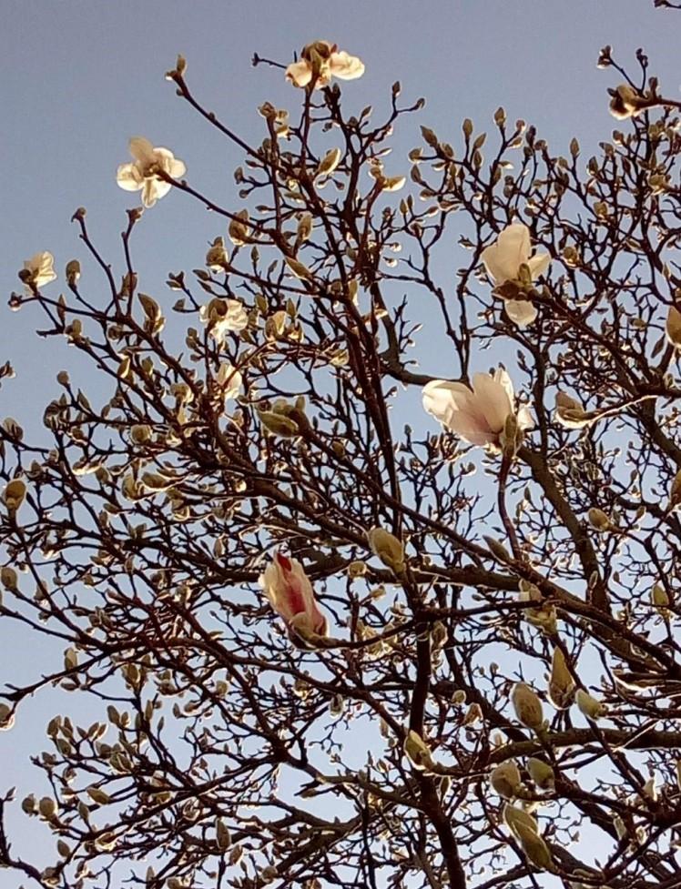 Magnolia flowers 27 February 2019