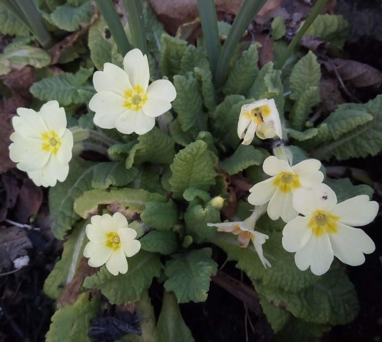 Primroses in the garden 27 February 2019