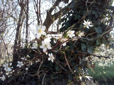 Prunus flowers 23 February 2019
