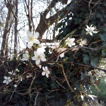 Prunus flowers 23 February 2019