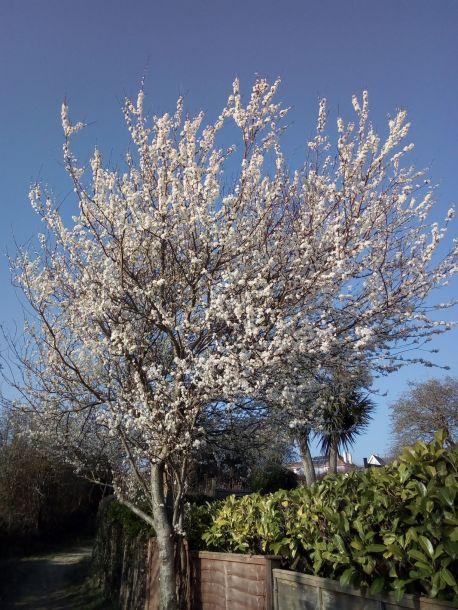 Prunus by the old railway line Bridport-West Bay