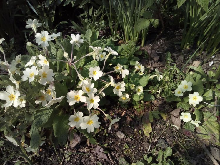 Primroses planted and spreading
