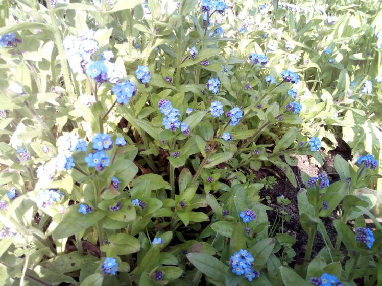 Shadow on forget-me-nots
