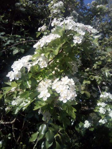 White May (Hawthorn)