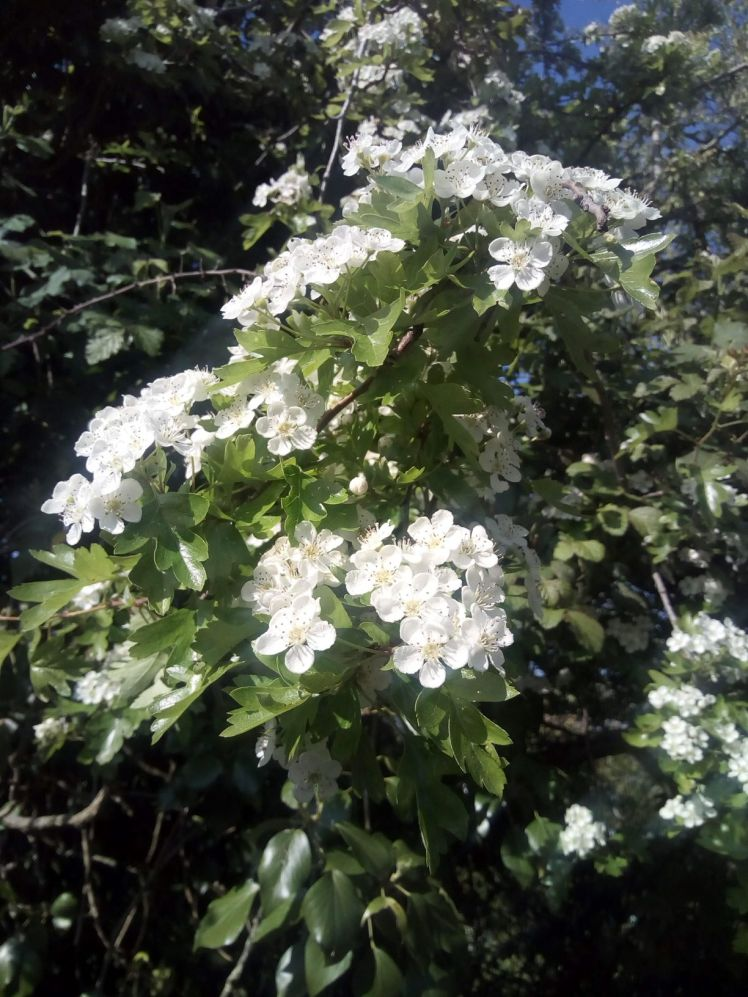 White May (Hawthorn)