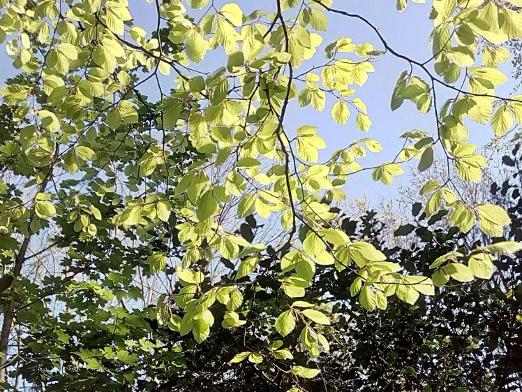 Young beech leaves All Hill 22 April 2020